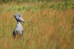 Shoebill / Balaeniceps rex (Sergi Aris) Tags: uganda storks shoebill wildlifeafrica birdsafrica picozapato birdingafrica