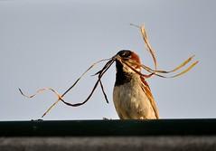 "Sparrow with a ""Dali Moustache"" (KoolPix) Tags: bird nature animal moustache sparrow housesparrow nestingmaterial koolpix naturephotography dailynaturetnc11 birdstnc11 naturesbest dailynaturetnc13 wcswebsite photocontesttnc14 dailynaturetnc14"