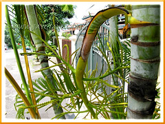 Inflorescence of Dypsis lutescens (Yellow Butterfly Palm, Golden Yellow Palm, Yellow Bamboo Palm, Cane Palm, Areca Palm)