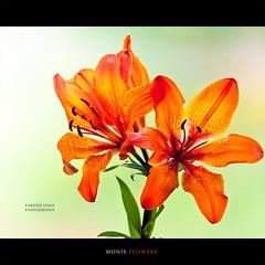 Monis Flowers