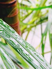 Taipei, Rainy 雨後的椰子樹葉閃閃發光