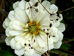 herbs and spice on zinnia