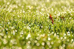 Morning Dew (Rafal Bergman) Tags: uk morning autumn sun fall grass wales britain south cardiff dew fields llandaff mywinners impressedbeauty