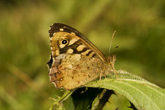 """Speckled Wood Butterfly (Pararge aeg(13) • <a style=""""font-size:0.8em;"""" href=""""http://www.flickr.com/photos/57024565@N00/2048232234/"""" target=""""_blank"""">View on Flickr</a>"""