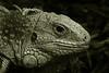 tbi (Leo Reynolds) Tags: zoo reptile animal fauna leol30random duotone canon eos 30d 0017sec f56 iso1600 90mm 0ev groupsepiabw xleol30x hpexif xratio3x2x xx2007xx