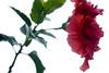 Rose... (Gus Casarin) Tags: flower rose florianópolis flor rosa araquem