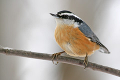 Red-breasted Nuthatch (Up Nort) Tags: winter wisconsin mercer sittacanadensis northwoods naturesfinest redbreastednuthatch upnort mywinners abigfave avianexcellence platinumheartaward