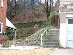 deer in the back yard