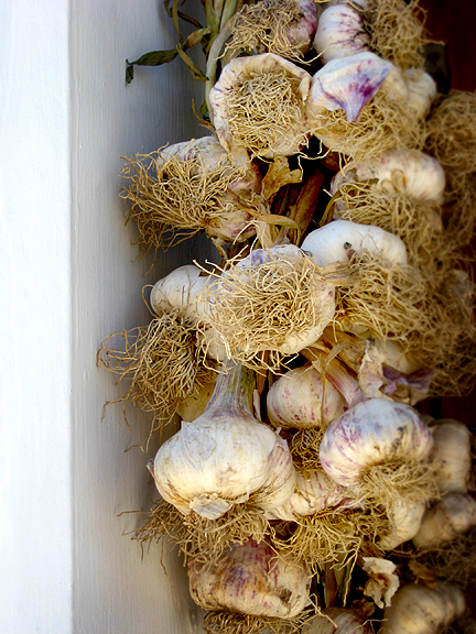 Fresh Garlic Bunch