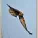 arpella vulgar  - aguilucho lagunero - marsh harrier - circus aeruginosus