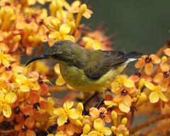 Olive-backed Sunbird (Cinnyris jugularis)  female
