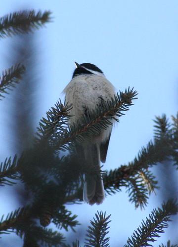 black-capped chickadee 03