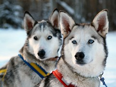Brothers... (Shelley Bean (Michelle Power)) Tags: winter dog explore alberta musher sled ftmcmurray huskie olympusevolte500 impressedbeauty brillianteyejewel ftmcmurrayalberta