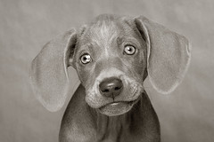 Little Hailey (4) (Piotr Organa) Tags: portrait bw dog pet white toronto canada black cute face animal puppy adorable loveit weimaraner mywinners impressedbeauty diamondclassphotographer flickrdiamond pet500 pet1000 flickrslegend pet3000