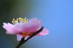 Delicate (*Sakura*) Tags: pink blue flower macro green japan blossom plum explore sakura ume  earlyspring      sakura