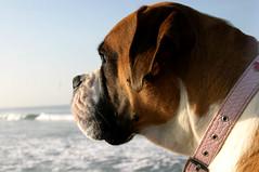 Nose in the Wind (Torri 479) Tags: ocean morning dog beach morninglight lola boxerdog boxer southside carlsbad carlsbadca explored