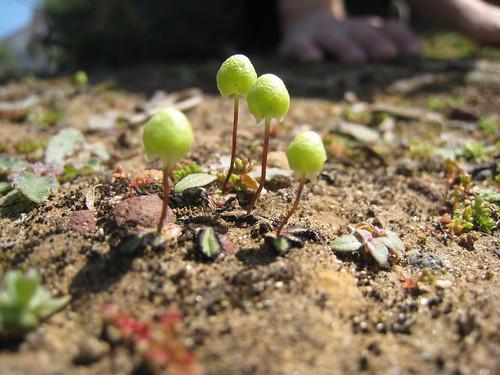 Asterella californica