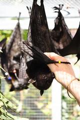 Bats! (wp7713) Tags: wires bats coffs