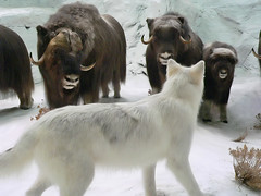Wolf stalking Musk Oxen (2)