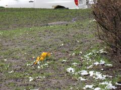 Det knoppas (moipourqoui) Tags: flower krokus snowtown