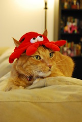 Harry wears the crab hat like a little old lady out on a day at the races. (,,,^..^,,,) Tags: cats nikon harry target 1855mm cathat cc100 nikond40x catapparel targetrules catsailornecktie i3target