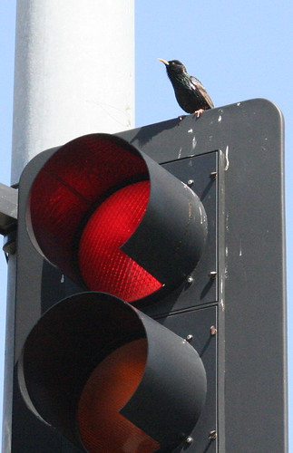 starling with stop light