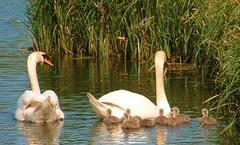 mum dad and kids a (lost45manuk) Tags: swans cygnets andoveruk antonlakes