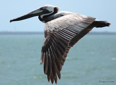 Pelican in flight (Damgaard_USA) Tags: sea gulfofmexico stpetersburg pier fly bill wings day florida flight wing feathers pelican clear blueeye skyway skywayfishingpier thechallengefactory damgaardphotographycom wwwtheobsessivephotographercom theobsessivephotographer