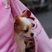 チワワ:Chihuahua_14