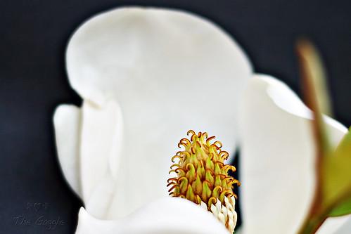 S. Magnolia Close