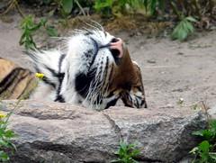 9740 Tierpark Berlin (golli43) Tags: city plants animals tiere berlinfriedrichsfelde tiger pflanzen tierparkberlin artenvielfalt schlossfriedrichsfelde alfredbrehmhaus artenpflege ubahntierpark freianlagen