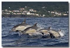 Delphinus delphis (PedroMadruga) Tags: ocean sea wild mammal bravo dolphin wildlife pico d200 azores porpoise aores golfinho cetaceo cetacean tonina commondolphin openocean mywinners pedromadruga southofpico golfinhocomum toninhamansa suldopico bfgreatesthits