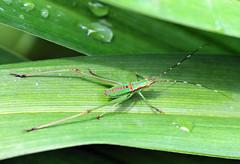 Immature Katydid - Tettigonioidea (jwinfred) Tags: mississippi delta greenville nature insects orthoptera nikon d300 tamron 90mm macro immature katydid tettigonioidea