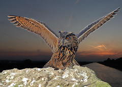 European Eagle Owl with wings spread (Steve Wilson - classic view please) Tags: uk sunset england bird rock wings nikon european eagle wildlife raptor bbc owl prey d200 majestic eurasian survey avian birdofprey hornedowl bubo horned bubobubo televison eagleowl nikond200