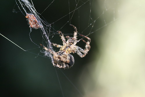 European Garden Spider Catching Food