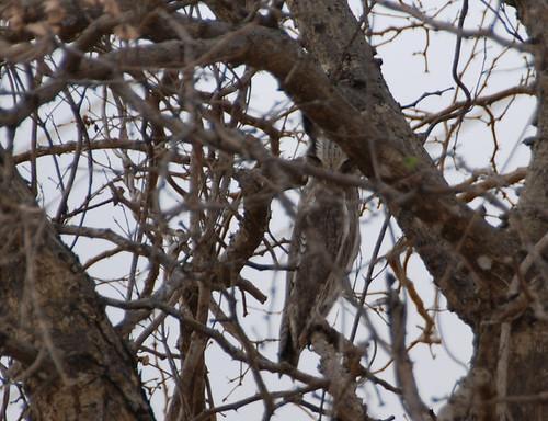 mystery owl II