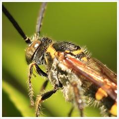 Wasp in Profile (ShutterbugL) Tags: macro gardens closeup insect singapore handheld botanic naturesfinest canoneos5d canonef100mmf28usmmacro flickrsbest animalkingdomelite diamondclassphotographer flickrdiamond macromix buzznbugz macromarvels excapturemacro