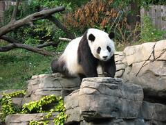 Tai Shan (Patty926) Tags: panda tai nationalzoo pandas taishan