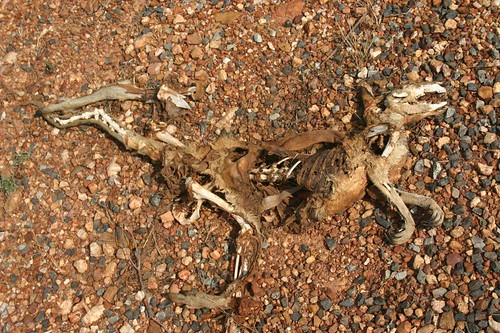 A sight way too common in the Australian outback...Dead kangaroos.