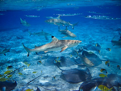 Frenzy (blupic) Tags: blue canon island shark paradise ray underwater feeding sting powershot snorkeling explore southpacific tropical tahiti s400 reef animalplanet bora borabora frenzy marinelife frenchpolynesia blacktipped animalkingdomelite favemegroup3