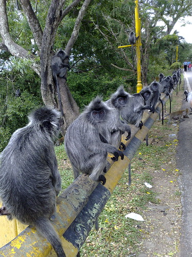 Row of monkeys.