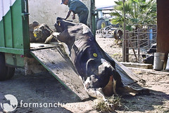Downed cow dragged to slaughter