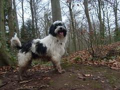 Rocky our tibetan terrier (dandavie) Tags: dog tibetanterrier terrier tibetan tt muddy leighwoods