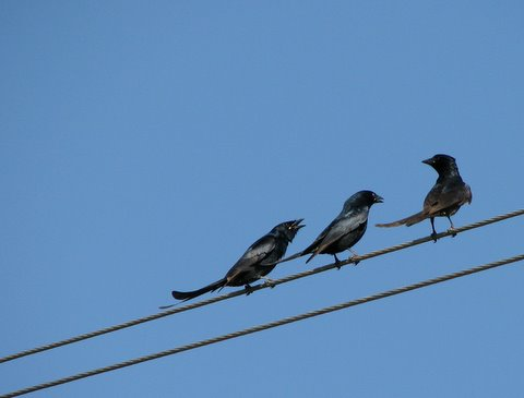 three yakking drongos
