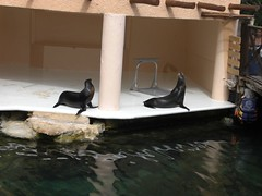 sea lions at Dolphin Discovery, Puerto Aventuras