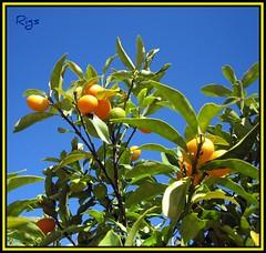 Some Pics Are Just Lemons...lol (Rigs Clearwater Florida) Tags: lemon florida blueskies rigs clearwaterflorida pinellascounty lemontrees llovemypic whenlifehandsyoulemonsaddtequillaandsalt somepicsarejustlemons