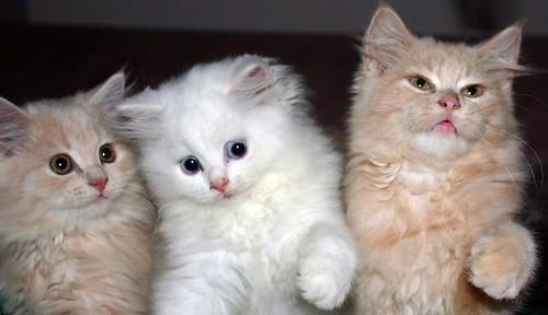 3 ekor anak kucing persia