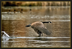 engage thrusters (Finiky) Tags: winter bird birds geese pond flight finiky birdsinflight waterfowl canadageese d3 afewofmyfavoritethings 300mmf28d nikontc20eii winter2008