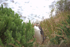 Yellow Eyed Penguin@Oamaru