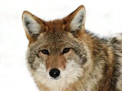 Coyote_7222